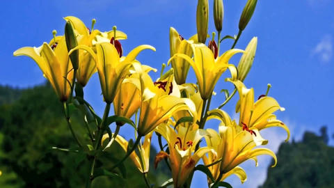 Yellow Lily flowers on blue sky background ビデオ
