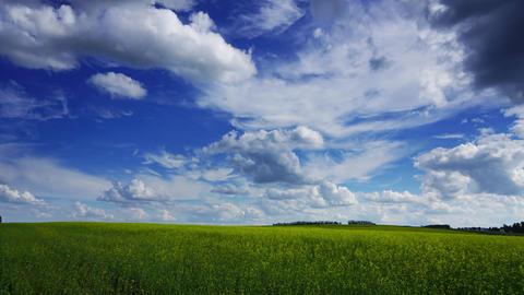 beautiful flowering rapeseed field, timelapse Footage