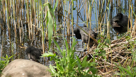 Active young progeny of black coot in a pond - - Fulica Atra Footage