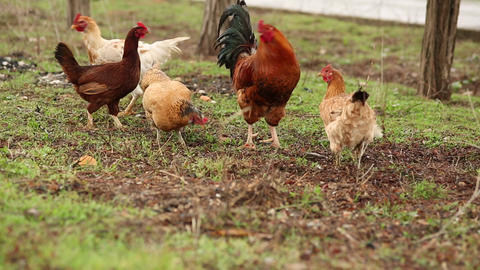 Free Range Chickens and Rooster Feeding in Nature Footage