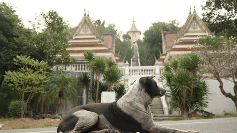 dog looks like a guard near entrance to Vat Yan temple of Thailand Footage
