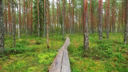 Nature landscape. Camera on steadicam. Swamp Footage