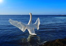 White swan in the sea Photo