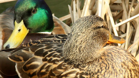 A couple of ducks rest on their nest Footage