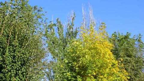Autumn-trees-0279-1-1080pTrees in autumn on a background of blue sky Footage