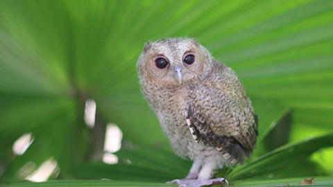 juvenile of collared scops owl Live Action