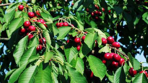 Fruits Ripe Cherries On The Wind 1 Footage