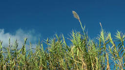 Europe Spain Balearic Ibiza coves and landscapes 009 high reed seen from below Footage