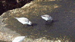 Some White-rumped Sandpiper Footage