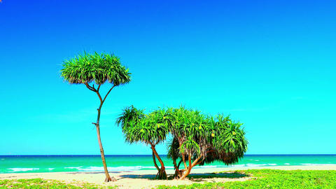 Screw pine with fruits and green leaves fluttering in wind against sandy beach Footage
