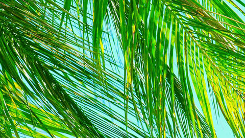 Green palm leaves swaying in wind and illuminated by sun Footage