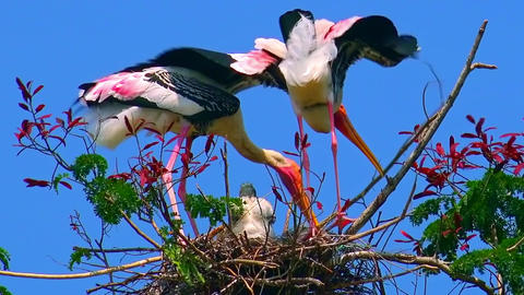 Pair of painted storks building nest for nestling against blue sly Footage