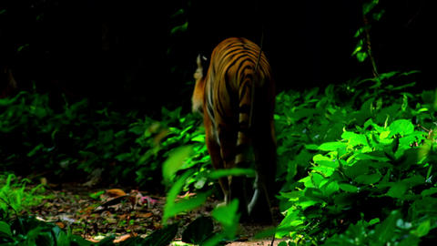 Bengal tiger goes out of shady exotic forest and slowly walks towards camera Footage