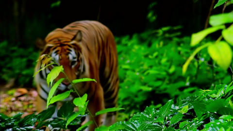 Bengal tiger goes out of shady exotic forest and slowly... Stock Video Footage