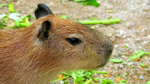 Close-up of capybara (Hydrochoerus hydrochaeris) chewing food Footage