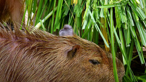 Close-up of capybara eating green grass and leaves Footage