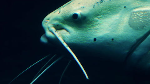 Big amelanistic channel catfish slowly swims past. Freshwater inhabitant Footage