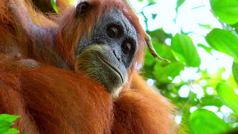 Orangutan female in tropical rainforest relaxing on tree. Sumatra, Indonesia Footage
