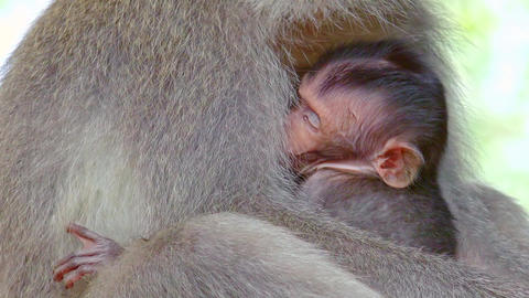 Close-up baby monkey sticking to mother's chest. Animal parenting. Indonesia Footage