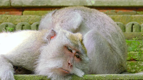 Family of long-tailed macaques grooms each other and relaxing Footage