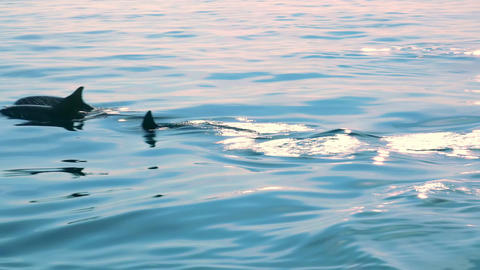 Family group of Dolphins move through tropic sea lit by sun. Sri Lanka Footage