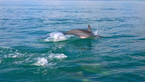 Dolphins swimming, porpoising, jumping out of water, hunting tuna. Sri Lanka Footage