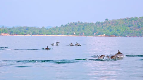 Dolphins chasing fish and breaching in morning. Sri Lanka Footage