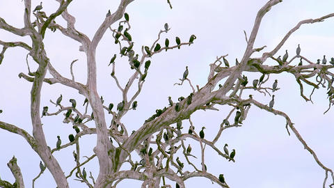Zooming video of lot Cormorant birds resting on tree in Udawalawe, Sri Lanka Footage