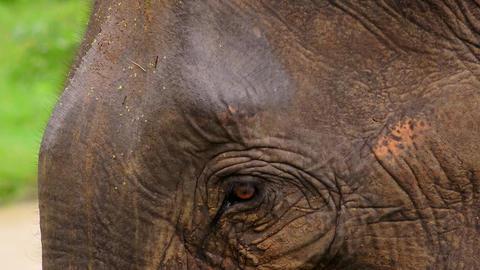 Close up Asian elephant head. Udawalawe National Park. Sri Lanka wild animals Footage