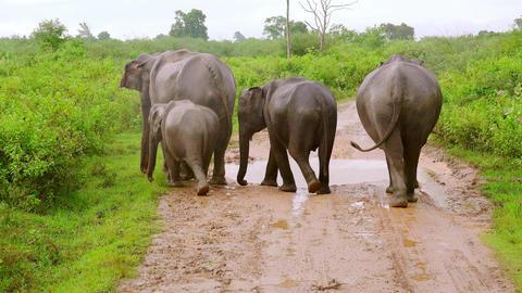 Rainy season in tropics. Asian elephants family walking. Udawalawe, Sri Lanka Footage