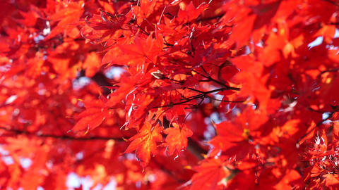 Japanese maple, autumn leaves Footage