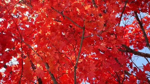 Japanese maple, autumn leaves Footage