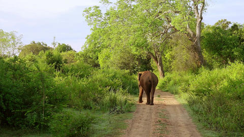 Asian elephant walking trough natural landscape. Udawalawe, Sri Lanka Footage