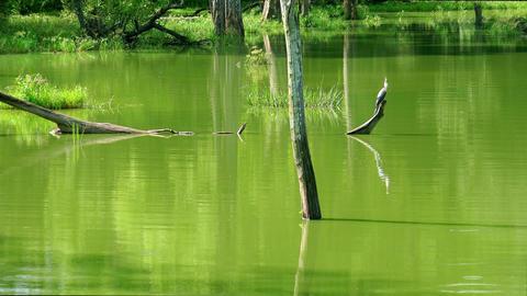 Zooming video of Grey Heron perched on log at lake in Udawalawe, Sri Lanka Footage