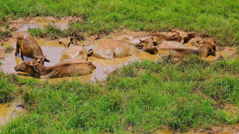 Asian water Buffalo enjoying muddy bathing in Udawalawe National Park. Sri Lanka Filmmaterial