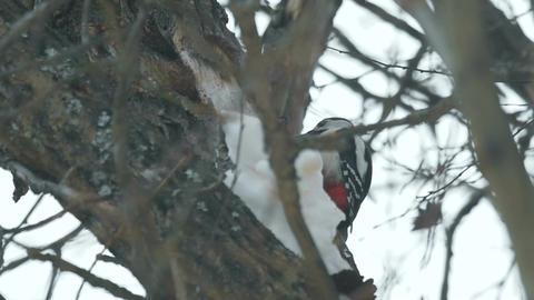 Woodpecker finding food inside tree trunk Footage