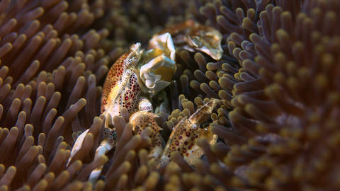 Spotted Porcelain Crab