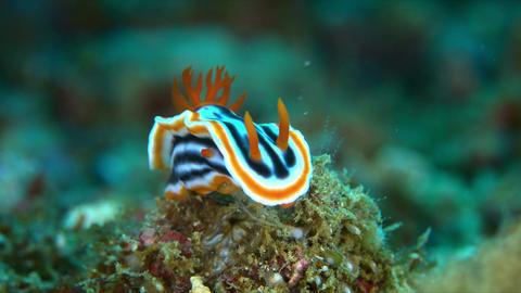 Dorid Nudibranch 4k Footage