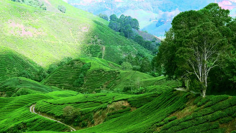 Panning video of tea plantation landscape. Malaysia nature and travel destinatio Footage