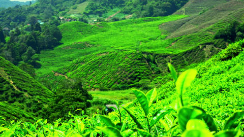 Follow focus video of tea plantation landscape with fresh leaves at foreground Footage