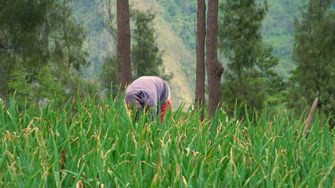 Indonesian farmer works at field. Java, Indonesia Footage