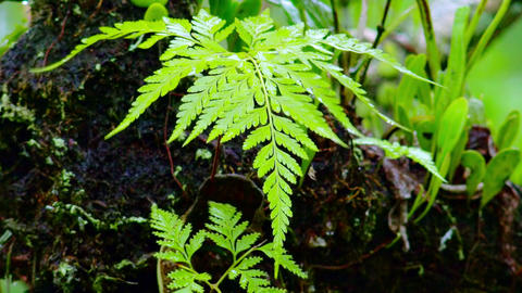 Wet season in tropics. Wild ferns during monsoon rain in Indonesian jungles Footage