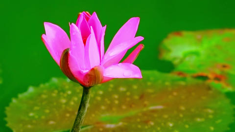 Beautiful water lily flower growing in pond at tropical fantasy garden Footage