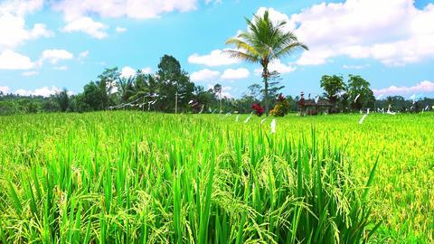Green rice ears ripening on field near Balinese village. Bali, Indonesiia Footage