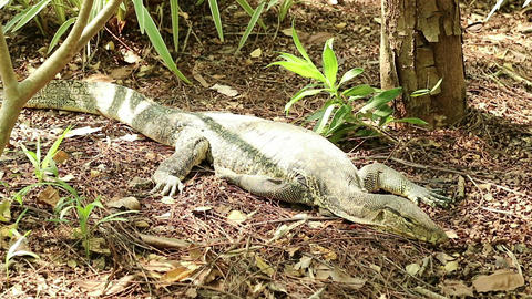Asian water monitor lizard rests under the sunlight Footage