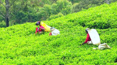 Zooming video of women picking tea harvest at highland plantation. Sri Lanka Footage