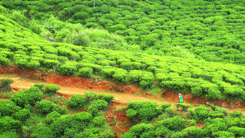 Local village woman going to work at tea highland plantations. Sri Lanka Footage