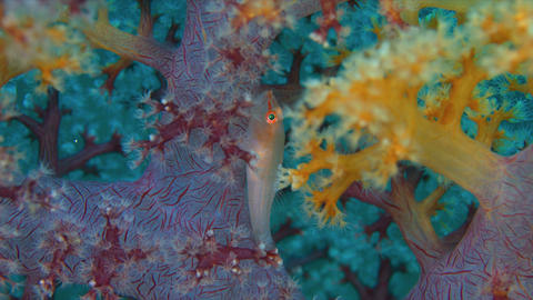 Soft Coral Ghostgoby Footage