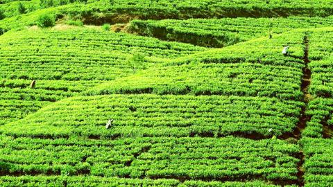 Zooming video of people picking tea harvest at highland plantation in Sri Lanka Footage
