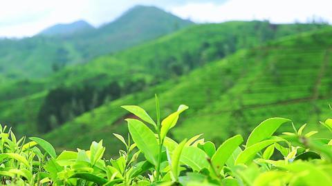 Fresh green tea leaves at highland plantation in Sri Lanka Footage